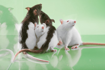 SAGE Labs' rats are genetically engineered for scientific study