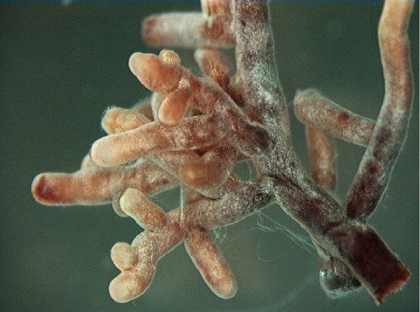 Mycorrhizal root tips
