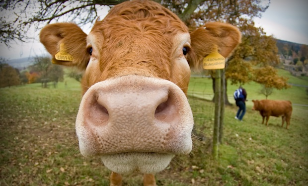 How Many Pounds Of Food Does A Cow Eat