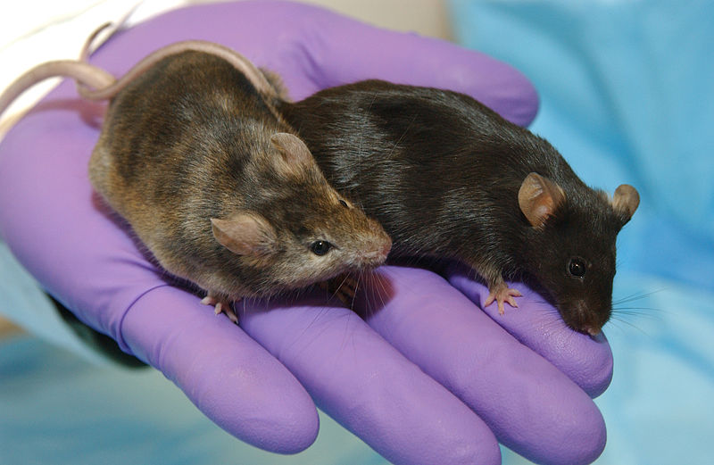 lab knockout mice