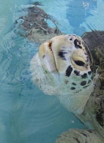 Bringing An Injured Sea Turtle Back To Life With Human Tissue Regenera