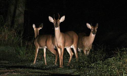 Image result for deer in headlights