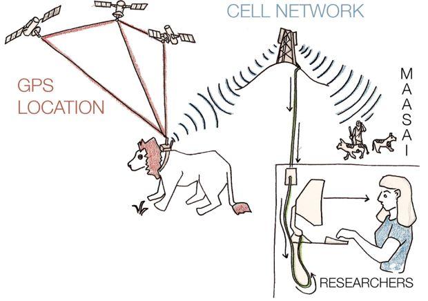 lion tracking GPS illo