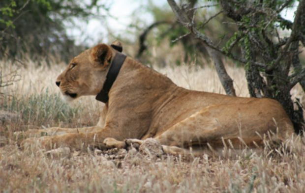 lion with tracking collar