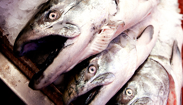 The FDA has yet to approve GM salmon for human consumption.