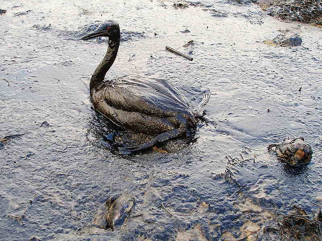 oil soaked bird