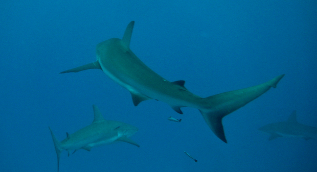 shark tales california bans of shark fins