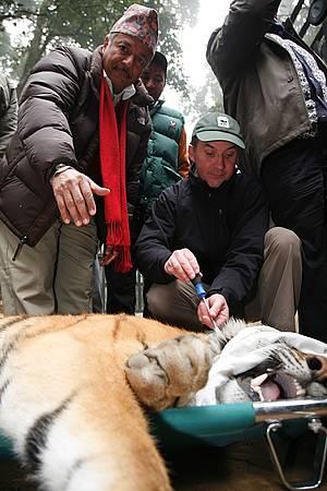 Bengal Tiger GPS insertion